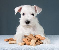 Treat your furry friend to these homemade healthy dog biscuits - WYZA. Best Dog Food, Best Dogs, Yorkshire Terrier, Toxic Foods For Dogs, Bichon Havanais, Best Housewarming Gifts, Dog Biscuits, Homemade Dog, Dog Training Tips
