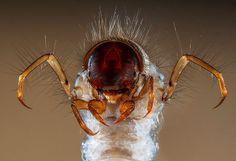 Trichoptère (Sericostoma sp.), indicateur de pureté de l'eau douce car très sensible à la pollution et meurt très rapidement si l'eau est sale.