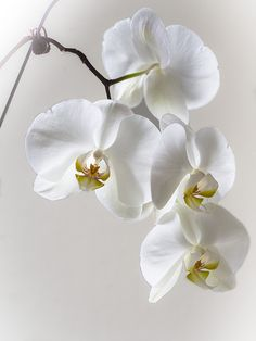 Wonderful Photos white Orchids Thoughts Orchid, any bloom of attractiveness in addition to magnificence splendor, features in excess of 700 kinds, ov White Orchids, White Flowers, Purple Orchids, Black Orchid, Yellow Roses, Purple Flowers, Pink Roses, Phalaenopsis Orchid, Arte Floral