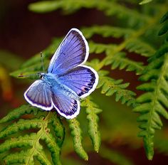 Spotting these tiny blue butterflies, flittering around like fairies in deep woods.
