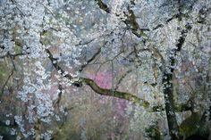 National Geographic : les plus belles photos de l'année 2015   Cerisier en fleur, palais impérial, Japon