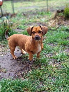 Sara, the Pekehund