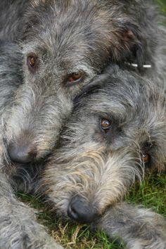 Loving Irish Wolfhounds