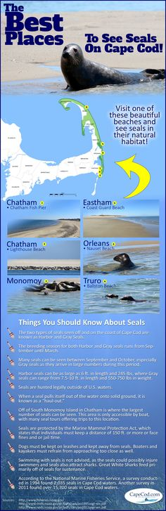 Seal watching is something that everyone does when visiting a beach on Cape Cod. Not only is it fun to see if you can spot one, but it is also especially important to be aware of seals in case of s…