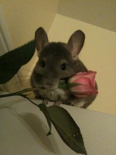 Chinchillas are made from pure happiness and the laughter of children :) Chinchillas, Hamsters, Raccoons, Rodents, Squirrels, Animals And Pets, Baby Animals, Funny Animals, Cute Animals