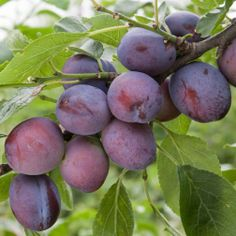 Plum 'Herman' - One of the best early ripening plums, excellent for dessert and culinary purposes. Medium sized blue-black fruits with sweet golden flesh, similar to its parent 'Czar' but with improved flavour and ripening 2-3 weeks earlier. The stone removes easily from the flesh. Pollination: Self-fertile. Group B. Season: mid July.