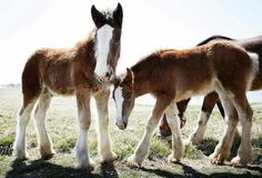 Little clydsdales!!