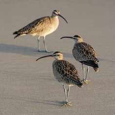 Whimbrels https://www.facebook.com/bruce.frye.photography