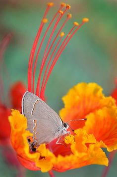 A Red-banded Hairstreak butterfly explores a Caesalpinia pulcherrima  flower at the San Diego Zoo's Reptile Walk.