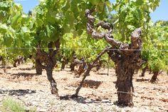 Localizado em um cenário idílico aos pés da Sainte-Vicotire, e com vinhas de mais de 60 anos, o Château Henri Bonnaud produz ótimos vinhos na AOP Palette, a três Km de Aix-em-Provence.