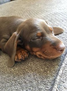 Cute Dachshund Puppy Visit Our Blog To Find The Best Products