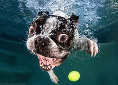 Crazy Boston Terrier Face Underwater Fetching a Tennis Ball!