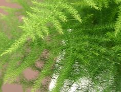 """Protoasparagus Setaceus Plumosus Nana Horizontal Asparagus fern  (middle blue hanging pot)   """"second chance plant"""" because swollen roots will regenerate after neglectful watering mishaps"""
