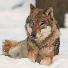 endangered idaho wolf ...         :(