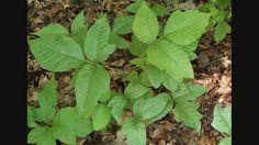 Poison Oak - A Survival Guide