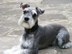 Miniature Schnauzer - Google Search