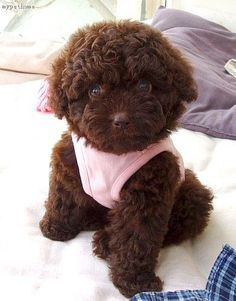 Chocolate poodle pup