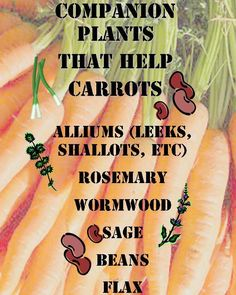 Carrots have a few plants that will help to benefit them during their growth. Beans provide nitrogen that carrots tend to need more than ...