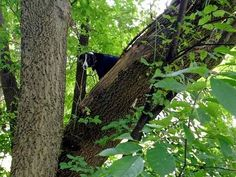 Ron Stevenson believes Laddy was able to climb up the gradual slope of the oak tree, but became too scared to come back down.