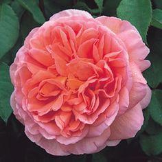 "David Austin's ""Abraham Darby"" rose"