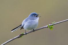 Blue-gray-Gnatcatcher | Flickr - Photo Sharing!