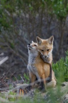 Two Red Fox Pups snuggle in play in Morro Bay, CA 28 May Cute Creatures, Beautiful Creatures, Animals Beautiful, Nature Animals, Animals And Pets, Wild Animals, Fuchs Baby, Fox Pups, Fantastic Fox