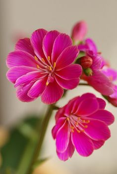 ~~Bitterwurz, gewöhnliche (Lewisia cotyledon) by HEN-Magonza*~~  #plant #awersome #flower #nature #tree #garden #wonderful #sexy flowers #carde #magic #color #500px #dream  #putdownyourphone #plants