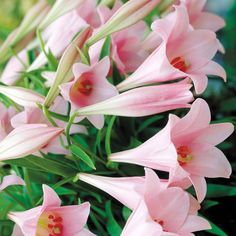 elegant  flowers | Flowers Flower Bulbs Lily Bulbs Lily 'Elegant Lady'