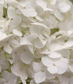 """Heirloom Flowers from the Colonial Williamsburg book: """"Flowers & Herbs of Early America"""" Hydrangea arborscens, """"Annabelle""""; Lewis House Garden. Photo by Barbara Temple Lombardi."""