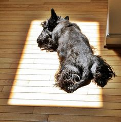 Scotties love sunshine. My Evie loved to follow the sunspots around the house.