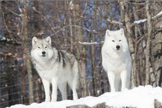 Arctic Wolf | Arctic Wolves