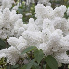 ~ incredible angel white lilac! ~  This beside a President Lincoln blue lilac..... smile..... with a yellow primrose lilac ..... oh, yes!