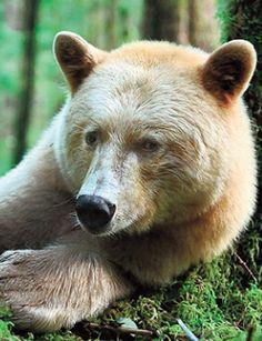 Kermode Black Bear (spirit)