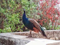 Nosso colega a pousar para a foto!  Our co-worker posing for the picture ;P #pavão #peacock #alcantara #agronomia #ulisboa #Lisboa #color #colorful #colour #isa #agronomia #workday #photo #photograf #bird #passaro #ave #penas