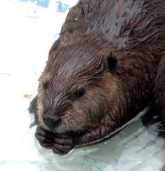 La Ferme 5 étoiles se situe entre le Fjord du Saguenay et Tadoussac, a découvrir : des orignaux, des cerfs, des loups, des émeus, des bébés husky ...