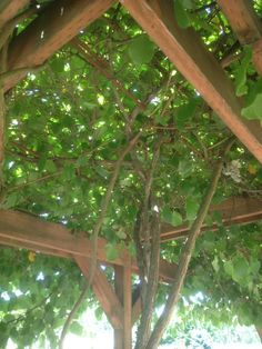 At the Oregon Food Bank Learning Garden. Kiwi on a very simple arbor. Totally doing this.