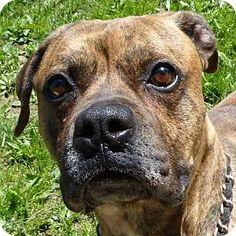 Valley View, OH - Boxer Mix. Meet Mirage - Kennel