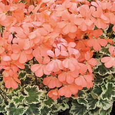 Geranium Variegated Frank Headley (5 Premium Plants)