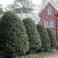 Burford Holly  www.shopleavesandpetals.com