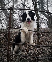 Such great dogs! But please rescue your border collie, so many need homes!