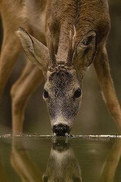 Young Buck Getting a Drink of Water.