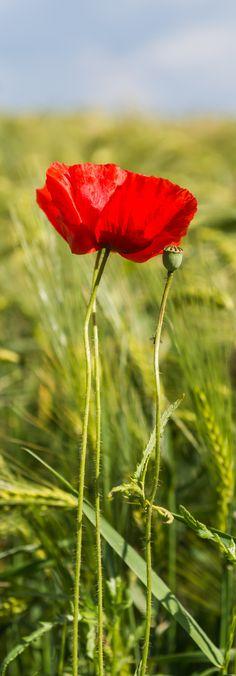 ~~last summer | Red Poppy | by Ulf Koepnick~~