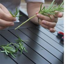 How to propogate  Rosemary A small shrub can cost  But you can so easily propogate new plants from a single shrub. Just take your cuttings from a healthy plant Pull off the leaves at least one third of the way up the stem Pop your cutting in a glass of water and place in a sunny spot be sure to change the water every four or five days. Once you have a strong root network established you can plant your cuttings in pots watch them take off. This technique works equally well with lavender…