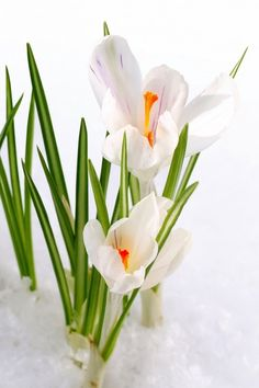 """Crocus through the snow. Courageous is the small plant that springs up through the snow. """"To uncover your true potential you must first find your own limits and then you have to have the courage to blow past them."""" — Picabo Street"""