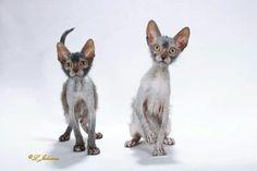 Lykoi cats ♡