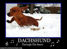 Dachshund through the snow..funny but no... my doxie REFUSES to go out in the snow unless his path is shoveled