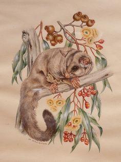 A sugar glider possum and pear fruited mallee (Eucalyptus, pyriformis). Marion & Margaret Davidson d Australian Possum, Australian Animals, Australian Art, Hamsters, Aboriginal Art, Wildlife Art, Animal Drawings, Rock Art, Art Inspo
