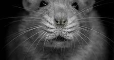 Rat Portrait- Black and White Hamsters, Rodents, Funny Rats, Cute Rats, Dumbo Rat, Rat Man, Wild Spirit, Pet Portraits, Cute Animals