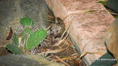 Les Mammifères de l'Île de La Réunion