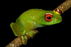 Confirmed new frog species from Betampona Forest Reserve in the Boophis genus. Photo by: Gonçalo M. Rosa.